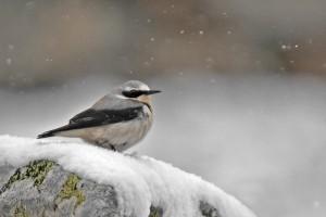 Collaba gris macho bajo la nevada (Salva Solé)