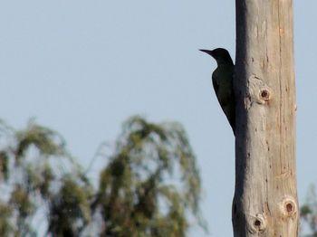 pito real (Picus Viridis), Parque Agrario del Delta del Llobregat octubre 2013