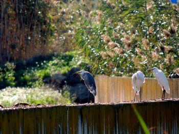dos garcetas comunes (Egretta garzetta) y posible híbrido de dimorfa y común, Can Dimoni, Delta del Llobregat octubre 2013
