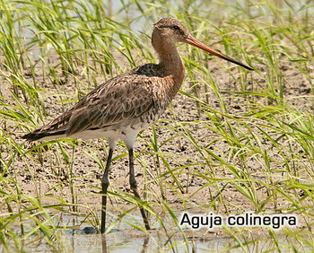 Aguja colinegra (Delta de l´Ebre, junio 2013)
