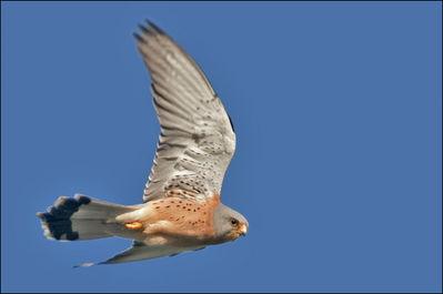 Cernícalo primilla (Aves esteparias de Lleida)