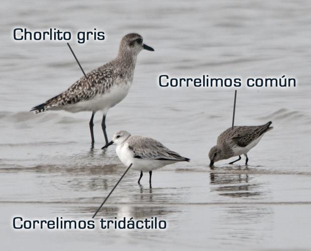 Chorlito gris, Correlimos común y tridáctilo (Delta de l´Ebre febrero 2013)