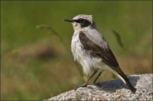 Collalba gris macho (Salva Solé, Bonaigua)