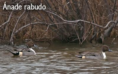 Observación aves invertantes Aiguamolls de l'Empordá - 19 de diciembre 2015 - ánade rabudo