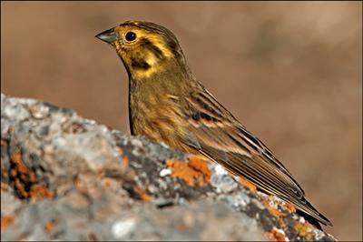 Salida ornitológica ARAÓS-BONAIGUA 22 Y 23 de junio 2013