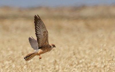 Grupo Local SEO Barcelona - salida ornitológica secanos de LLeida 2015 - cernícalo patirrojo en vuelo