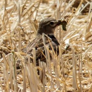 Grupo Local SEO Barcelona - salida ornitológica secanos de LLeida 2015 - calandria común
