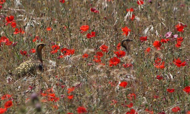 Grupo Local SEO Barcelona - salida ornitológica secanos de LLeida 2015 - ganga ibérica