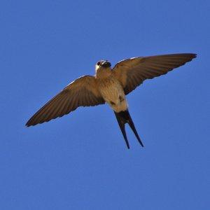 Grupo Local SEO Barcelona - salida ornitológica secanos de LLeida 2015 - golondrina daúrica