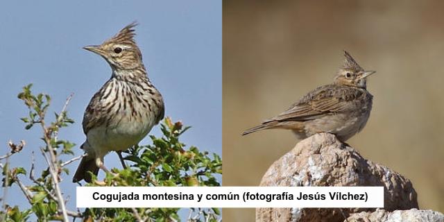 Grupo Local SEO Barcelona - salida ornitológica secanos de LLeida 2015 - cogujada montesina