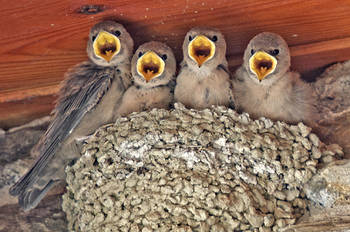 Informe Araós-Bonaigua 2015 - Grupo Local SEO Barcelona - Pollos de avión roquero en el nido