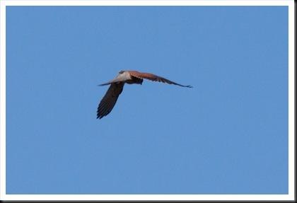 Cernícalo vulgar (Falco tinnunculus), delta del Llobregat diciembre 2012