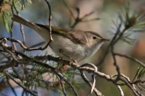 Mosquitero papialbo (Bosc de Viros) (Salva Sole 16-6-2014)
