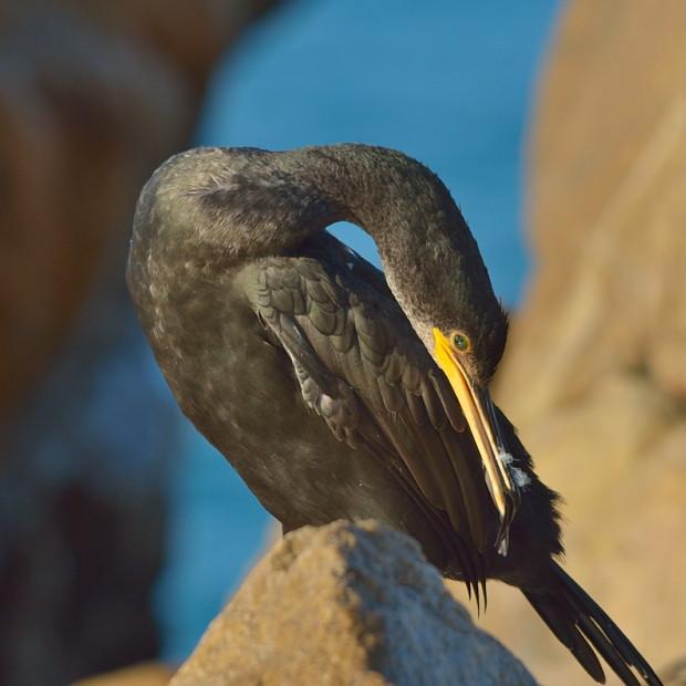Nadando con cormoranes: una experiencia ornitológica estival - Grupo Local SEO Barcelona