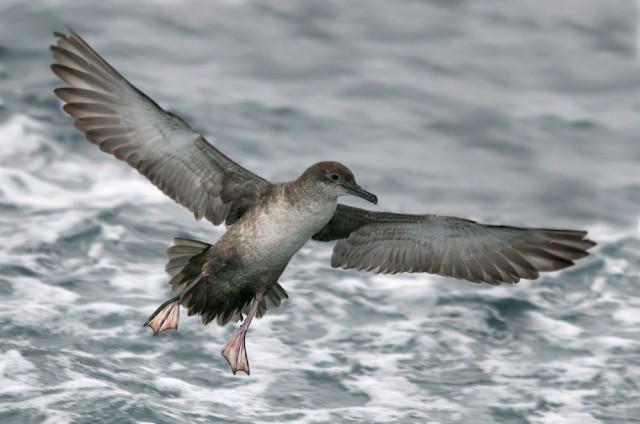 Pardela balear en vuelo (Tarragona 27/2/210)