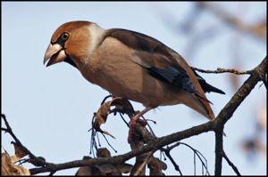Grupo Local SEO Barcelona: Salida ornitológica a Olot 10 de enero 2015 (foto Salvador Solé) picogordo común