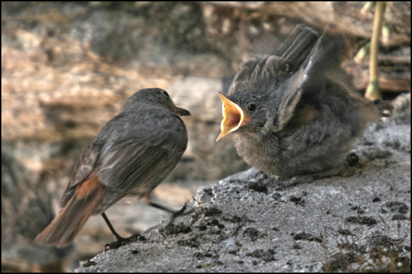 Pollo de Colirrojo tizón en Arestui