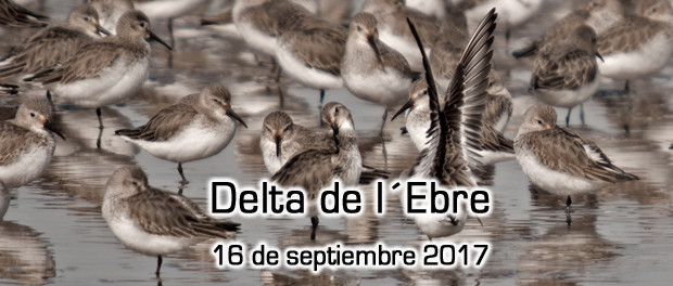 Salida ornitológica al Delta del Ebro: 16 de septiembre 2017