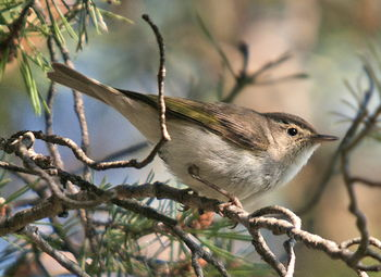 Salida ornitológica Araós-Bonaigua 10 y 11 de junio 2017 - Grupo Local SEO Barcelona