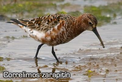 Salida ornitológica Delta del Ebro - septiembre 2015 - Grupo Local SEO Barcelona - correlimos zarapitín
