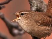Chochín común: el pájaro discreto de nombre curioso - ¡Conócelas! 4