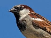 Gorrión común: el ave del año - ¡Conócelas! 6 – Grupo Local SEO Barcelona