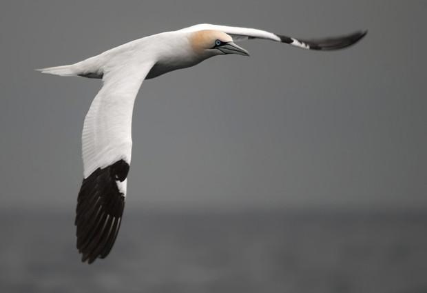 Alcatraz atlántico: nuestro gran pájaro marino - ¡Conócelas! 7 – Grupo Local SEO Barcelona