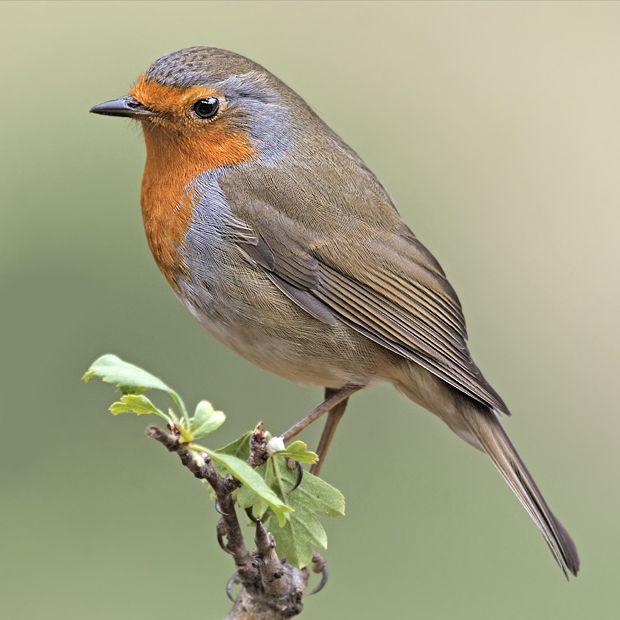 Petirrojo europeo: el pájaro simpático - ¡Conócelas! 8 – Grupo Local SEO Barcelona