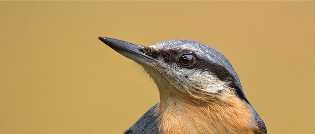Trepador azul: el pájaro previsor - ¡Conócelas! 14 – Grupo Local SEO-BARCELONA