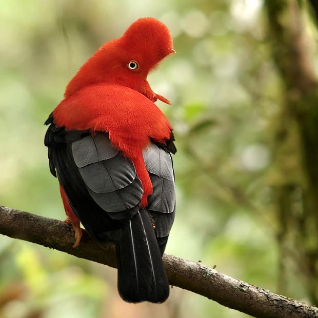 Gallito de las rocas peruano: el ave nacional de Perú - ¡Conócelas! 15 – Grupo Local SEO-BARCELONA