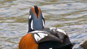 Pato arlequín: el pato comediante - ¡Conócelas! 45 – Grupo Local SEO BARCELONA