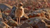 Corredor sahariano: el dandi del desierto - ¡Conócelas! 50 – Grupo Local SEO BARCELONA