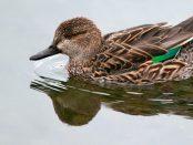 Cerceta común: el mini pato - ¡Conócelas! 53 – Grupo Local SEO BARCELONA