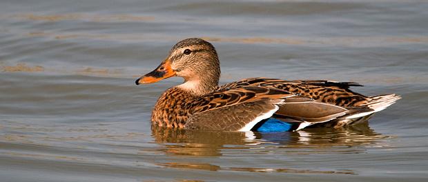 Ánade azulón: el pato – ¡Conócelas! 57 – Grupo Local SEO BARCELONA