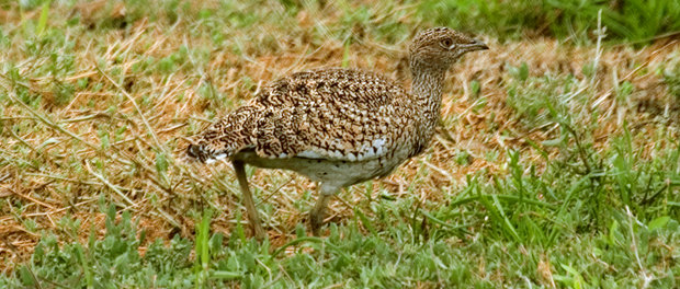 Sisón común:ave del año 2017 – ¡Conócelas! 77 – Grupo Local SEO BARCELONA