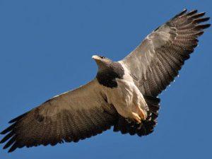 Águila mora: – ¡Conócelas! 85 – Grupo Local SEO BARCELONA