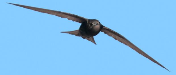 Vencejo común: el volador impenitente – ¡Conócelas! 86 – Grupo Local SEO BARCELONA