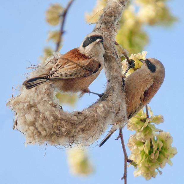 Pájaro moscón europeo: las casas colgantes – ¡Conócelas! 91 – Grupo Local SEO BARCELONA
