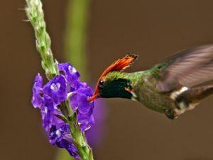 Coqueta crestirrufa: escaso y espectacular colibrí – ¡Conócelas! 92 – Grupo Local SEO BARCELONA