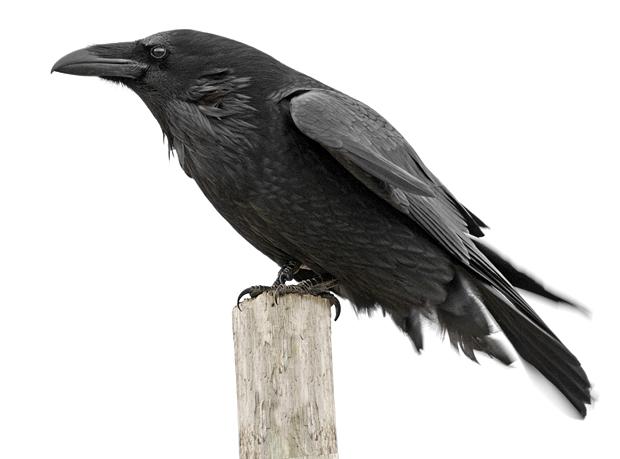 Cuervo grande: smart bird – ¡Conócelas! 104 – Grupo Local SEO BARCELONA