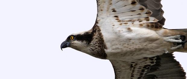 Águila pescadora: esperando que vuelva – ¡Conócelas! 106 – Grupo Local SEO BARCELONA