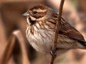 Escribano palustre común: el volador impenitente – ¡Conócelas! 86 – Grupo Local SEO BARCELON