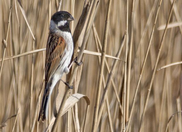 Escribano palustre común: el volador impenitente – ¡Conócelas! 86 – Grupo Local SEO BARCELONA