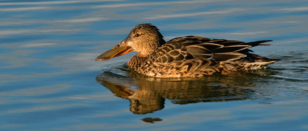 Cuchara común: el pato bocazas – ¡Conócelas! 108 – Grupo Local SEO BARCELONA