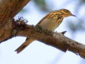 Bisbita arbóreo: nuestro bisbita de verano – ¡Conócelas! 136 – Grupo Local SEO BARCELONA