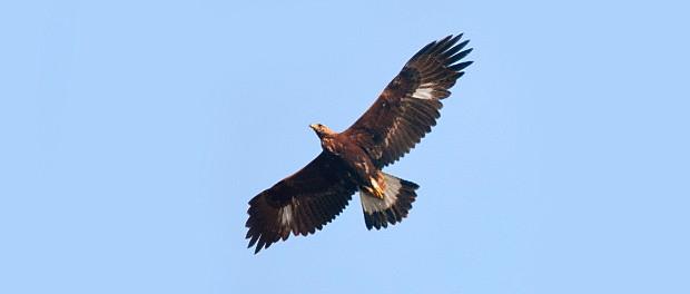 Águila real: la gran cazadora – ¡Conócelas! 137 – Grupo Local SEO BARCELONA