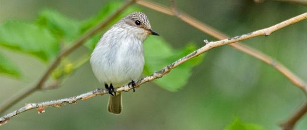 Papamoscas gris: cazarlas al vuelo – ¡Conócelas! 139 – Grupo Local SEO BARCELONA