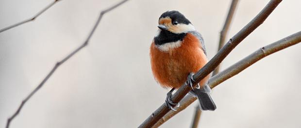 Carbonero variado: herramienta ornitomántica– ¡Conócelas! 145 – Grupo Local SEO BARCELONA