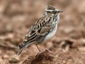 Alondra totovía: la alondra forestal – ¡Conócelas! 157 – Grupo Local SEO BARCELONA