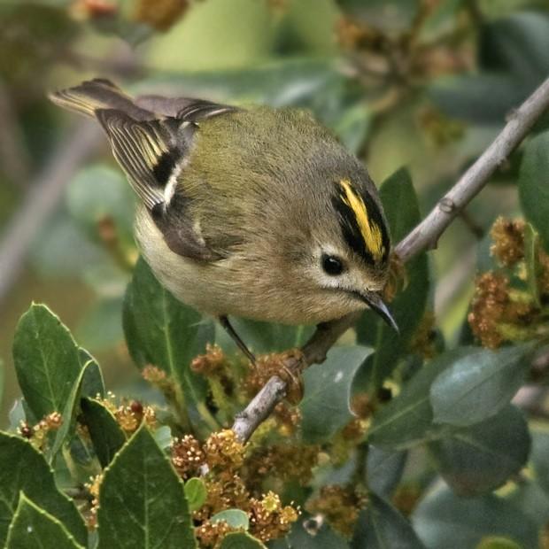 Reyezuelo sencillo: pequeño gran pájaro – ¡Conócelas! 152 – Grupo Local SEO BARCELONA
